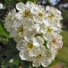 Hawthorn or may tree blossom